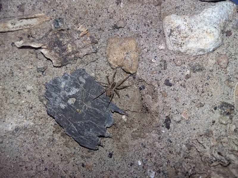 Il ragno sulla corteccia fotografie stock