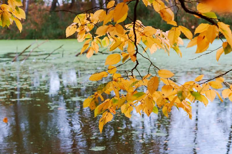 Il ramo con giallo rimane lo stagno, la foresta di autunno ed il lago immagine stock libera da diritti