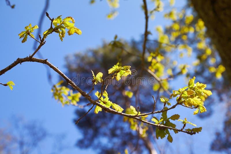 Il ramo con la giovane quercia verde lascia in primavera verso luce solare La quercia va dentro può immagini stock