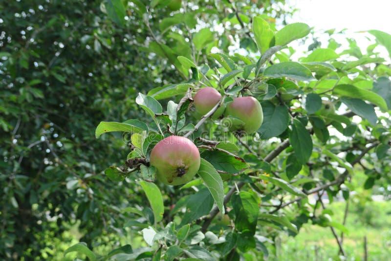 Il ramo con un gruppo di mele si chiude su fotografie stock libere da diritti