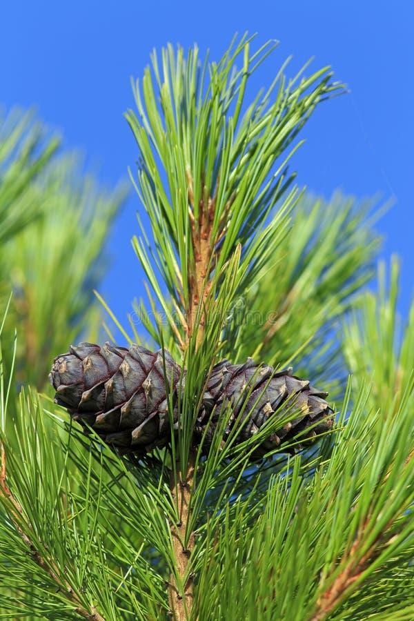 Il ramo del cedro con i coni di estate in Siberia immagine stock