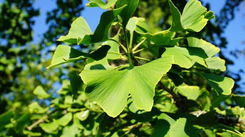 Il ramo del ginkgo biloba con le foglie a forma di ventaglio verdi si chiude su Conosciuto comunemente come l'albero di ginco, il fotografie stock