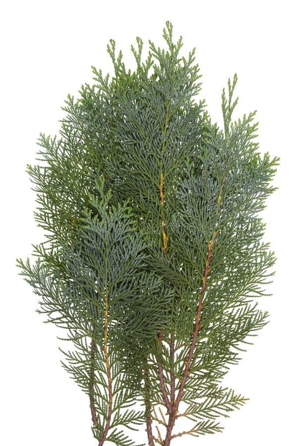 Il ramo dell'albero conifero sempreverde del thuja immagini stock
