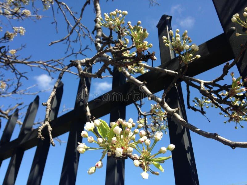 Il ramo dell'albero da frutto in fiore che appende sopra il metallo recinta Jersey City, NJ in primavera fotografia stock