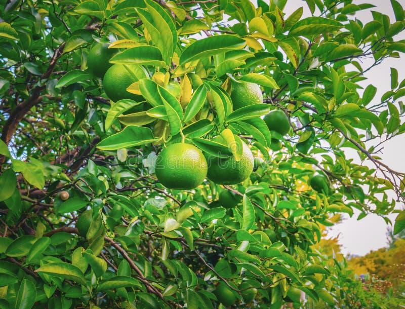 Il ramo dell'albero di mandarino con il mandarino non maturo fruttifica fotografia stock libera da diritti