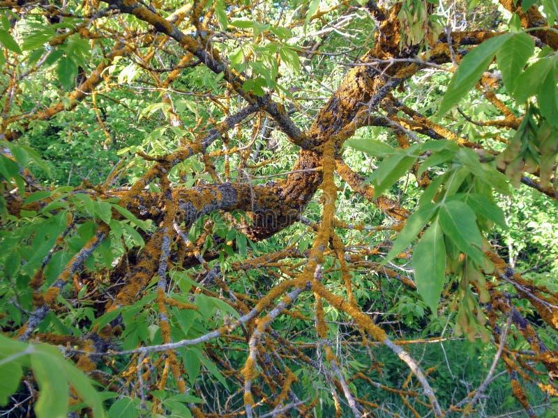 Il ramo dell'albero nella foresta è colpito dalla malattia fotografie stock