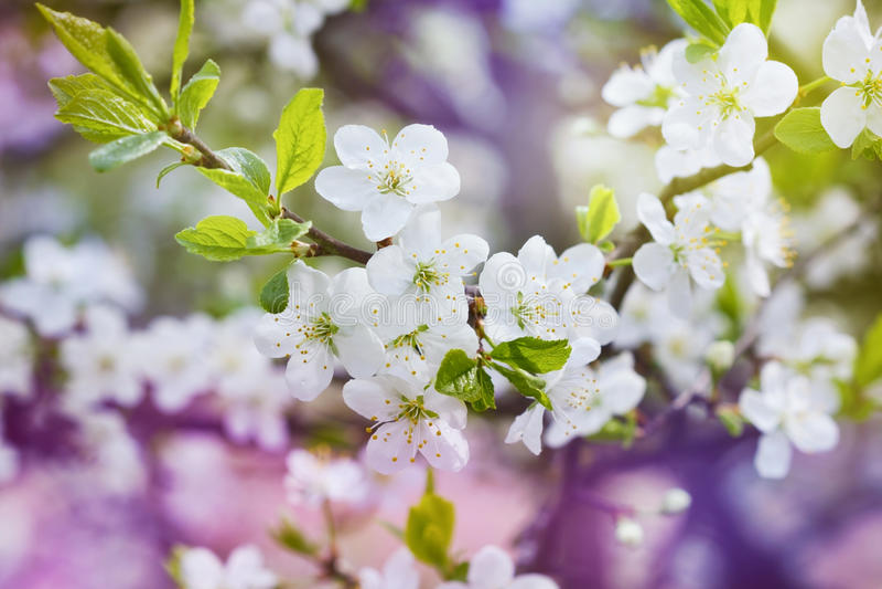Il ramo della ciliegia del fiore, bella molla fiorisce per fondo d'annata fotografia stock