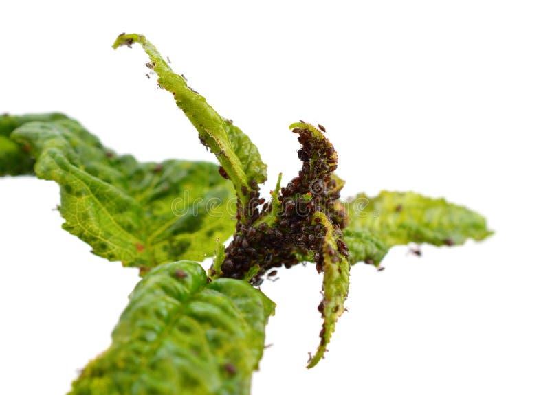 Il ramo della ciliegia ha colpito con i pidocchi di pianta (afide) fotografia stock libera da diritti