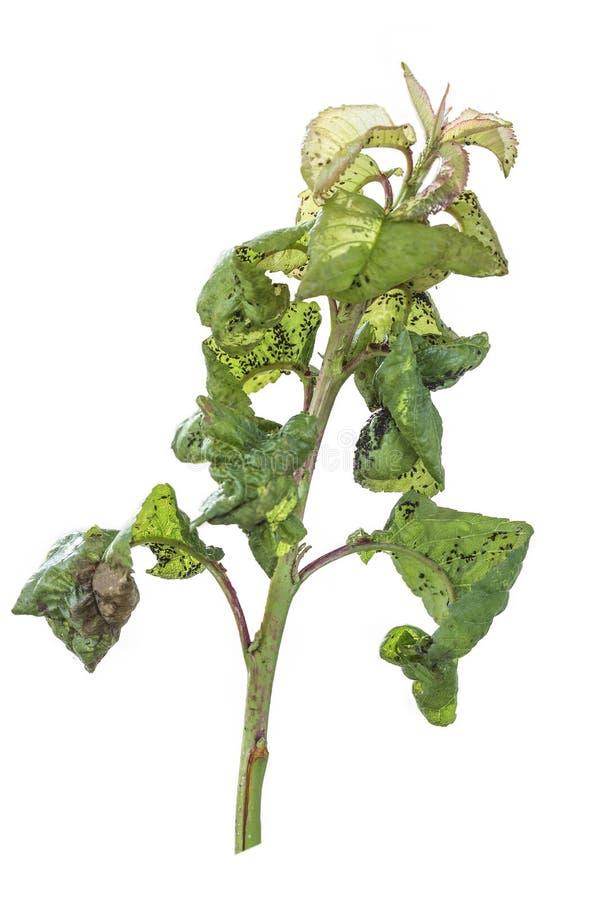 Il ramo della ciliegia ha colpito con un afide dei pidocchi di pianta Isolato immagini stock libere da diritti