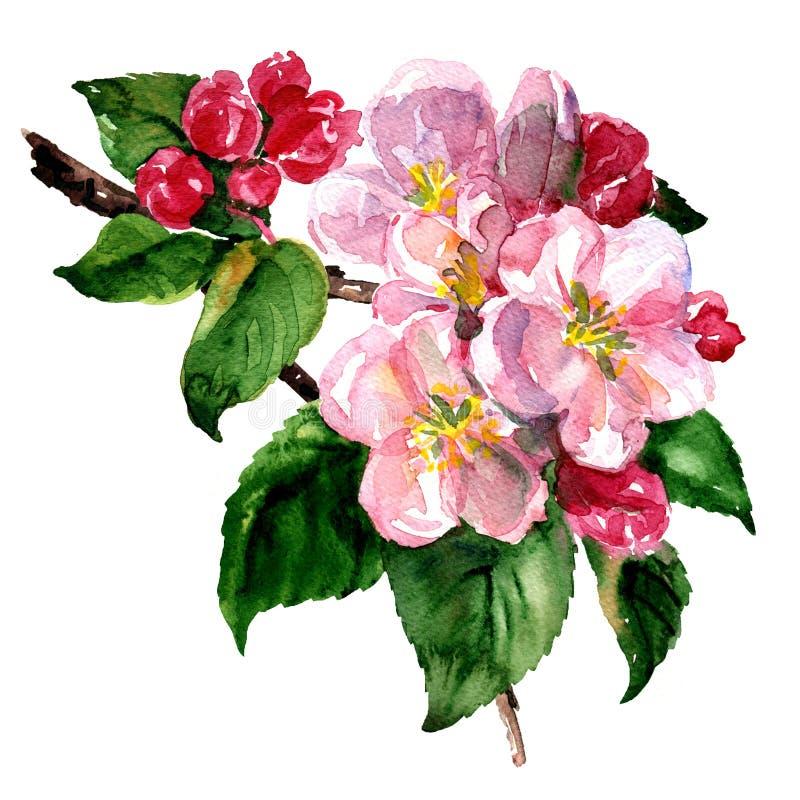 Il ramo della mela o del pero sboccia con le foglie verdi ed i fiori bianchi Isolato, illustrazione dell'acquerello della molla illustrazione di stock
