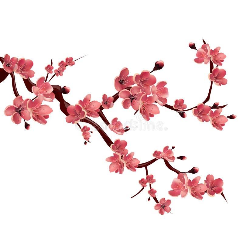 Il ramo di è aumentato sakura sbocciante Ciliegio giapponese Illustrazione isolata vettore su priorità bassa bianca royalty illustrazione gratis