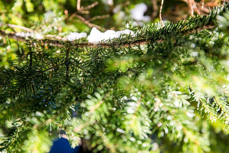Il ramo di albero verde della foresta della neve immagini stock