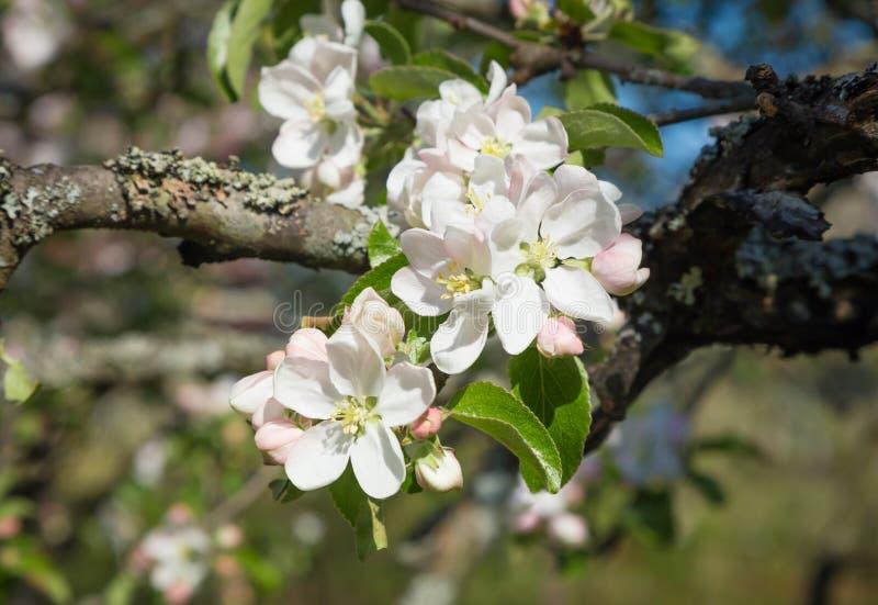 Il ramo di Apple sboccia fiori bianchi fotografia stock libera da diritti