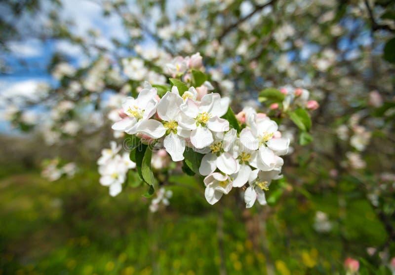 Il ramo di Apple sboccia fiori bianchi fotografie stock libere da diritti