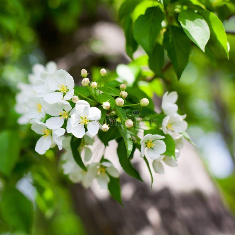 Il ramo di fioritura di melo con i fiori bianchi sulle foglie verdi ha offuscato la fine del fondo del bokeh su, macro bianca del fotografia stock libera da diritti
