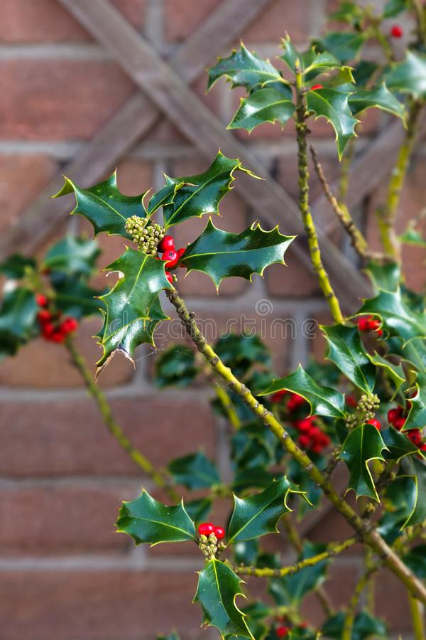 Il ramo inglese dei hollies dell'agrifoglio di ilex delle bacche rosse americane di opaca lascia il verde del cespuglio di Natale immagine stock
