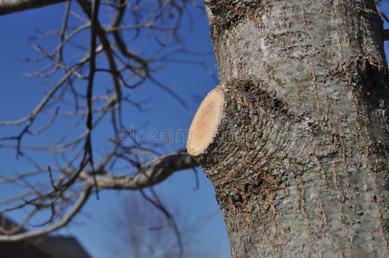 Il ramo Stub After Limb è rimosso correttamente immagine stock