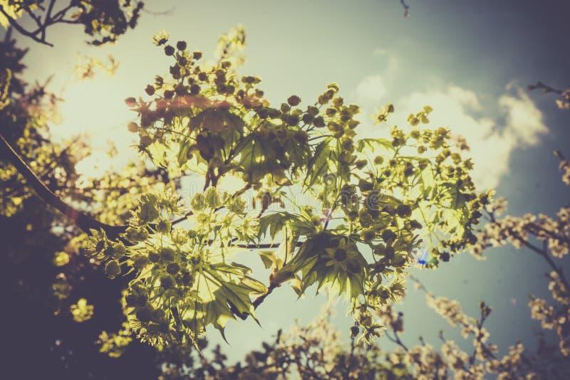 Il ramo in tensione di orizzontale con le nuove foglie verdi della molla contro un chiaro cielo blu con il fascio del sole rays fotografia stock libera da diritti