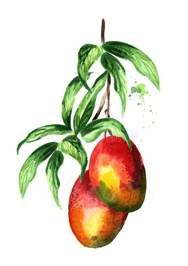 Il ramo verde del mango con le foglie ed il mango fruttifica Illustrazione disegnata a mano dell'acquerello isolata su fondo bian illustrazione di stock