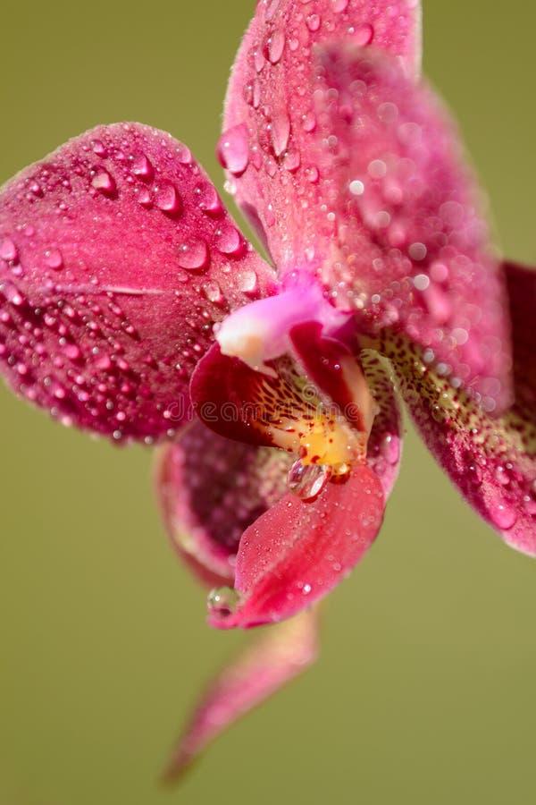 Il ramoscello dell'orchidea fiorisce con le gocce di rugiada su un fondo a strisce fotografia stock libera da diritti