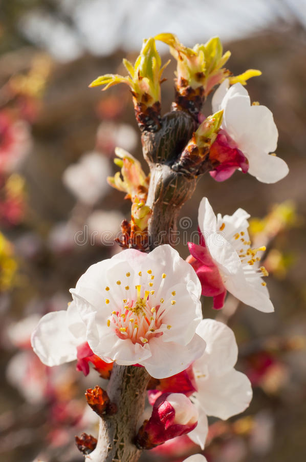 Il ramoscello delle prugne con le foglie e di giovani tiri della molla fiorisce fotografia stock libera da diritti