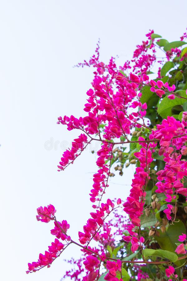 Il rampicante messicano, leptopus di Antigonon è pianta ornamentale che è immagini stock