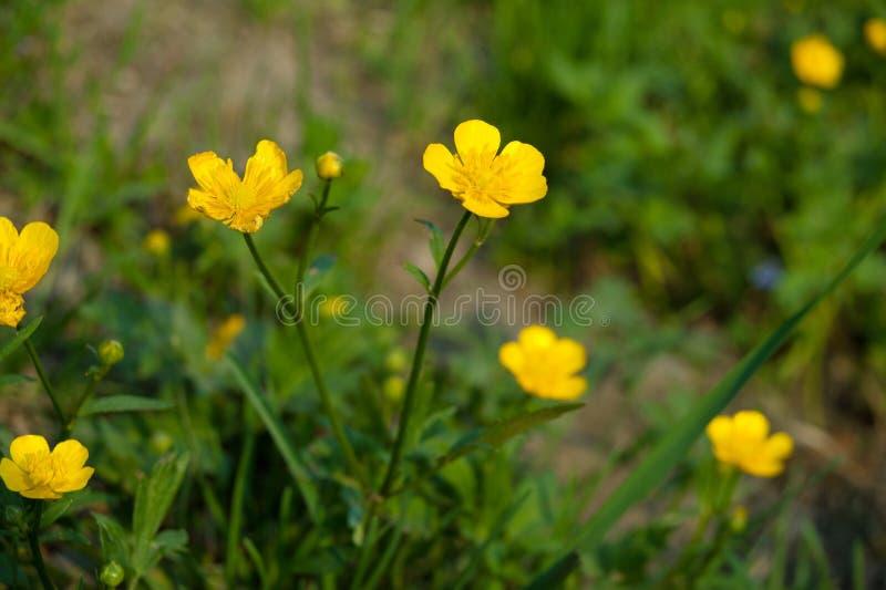 Il ranuncolo fiorisce a Salisburgo la riva del fiume, fiore giallo fotografia stock