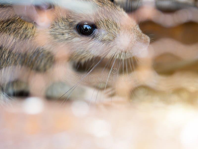 Il ratto ? bloccato in una gabbia della trappola o in una trappola il ratto sporco ha contagio la malattia agli esseri umani qual fotografia stock libera da diritti