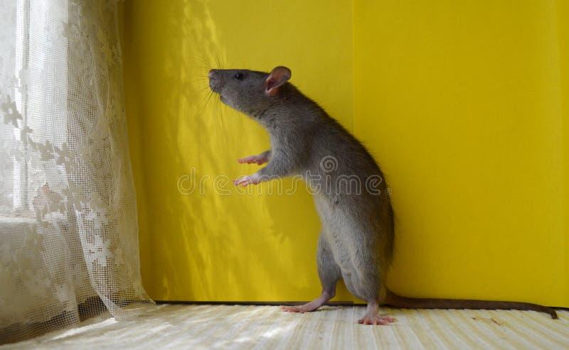 Il ratto grigio sveglio sta sulle zampe posteriori e guarda fuori la finestra immagine stock libera da diritti