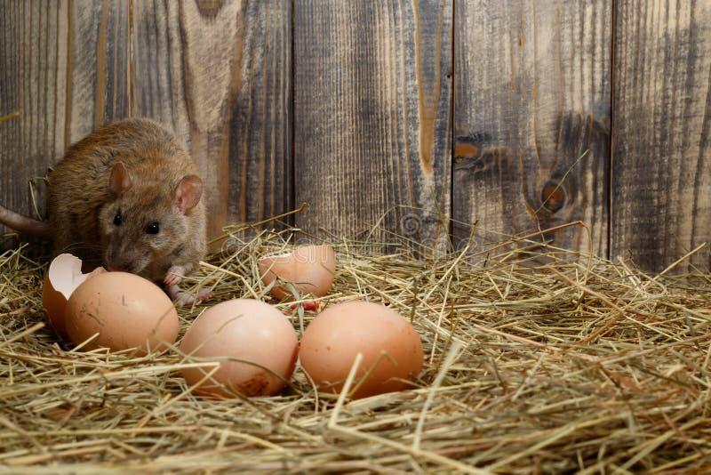 Il ratto selvaggio del primo piano si apposta vicino alle uova nel pollaio immagine stock