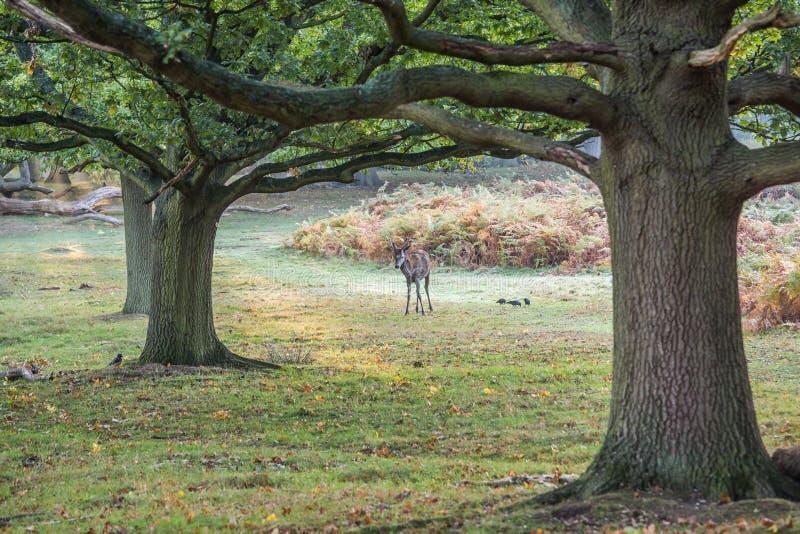 Il re della foresta fotografia stock libera da diritti