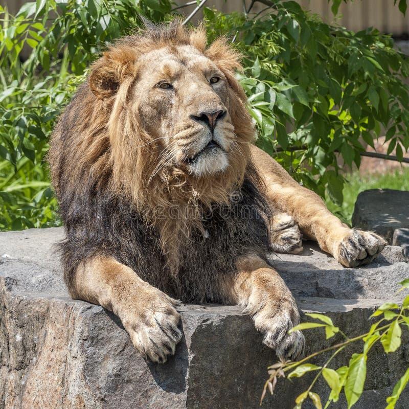 Il re delle bestie è un leone immagine stock libera da diritti