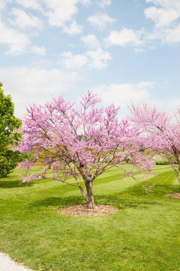 Il redbud orientale di griffithii del Cercis è un grande arbusto deciduo o fotografia stock