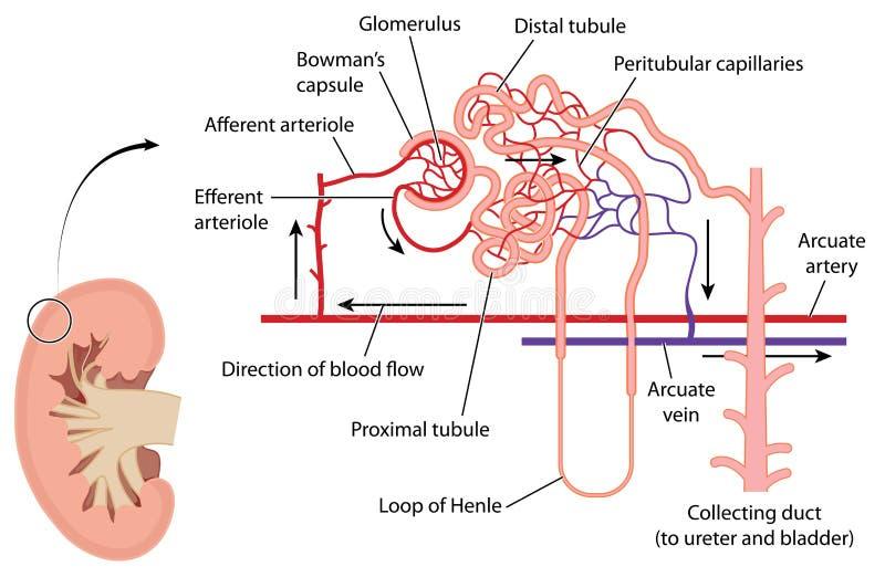 Il rene ed il nefrone illustrazione vettoriale