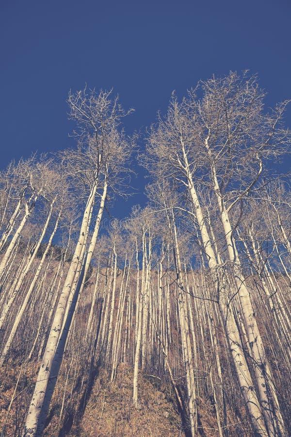 Il retro colore ha tonificato gli alberi di betulla sfrondati di autunno fotografia stock