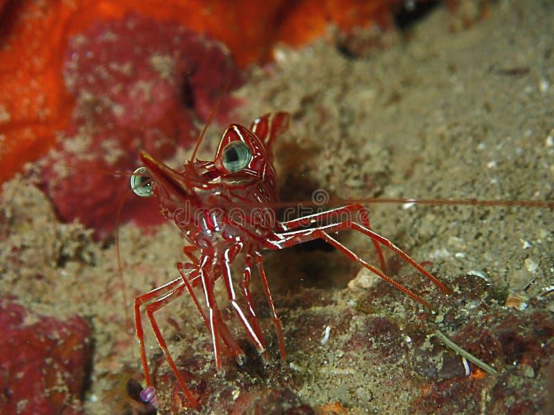 il rhynchocinetes durbanensis del gamberetto del Cerniera-becco su corallo duro durante lo svago si tuffa Sabah, Borneo fotografia stock libera da diritti