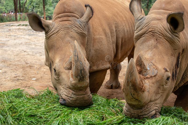 Il rinoceronte è il più grande animale hoofed del mondo Il rinoceronte ha le brevi gambe ed ente maldestro Anteriore e posteriore immagini stock