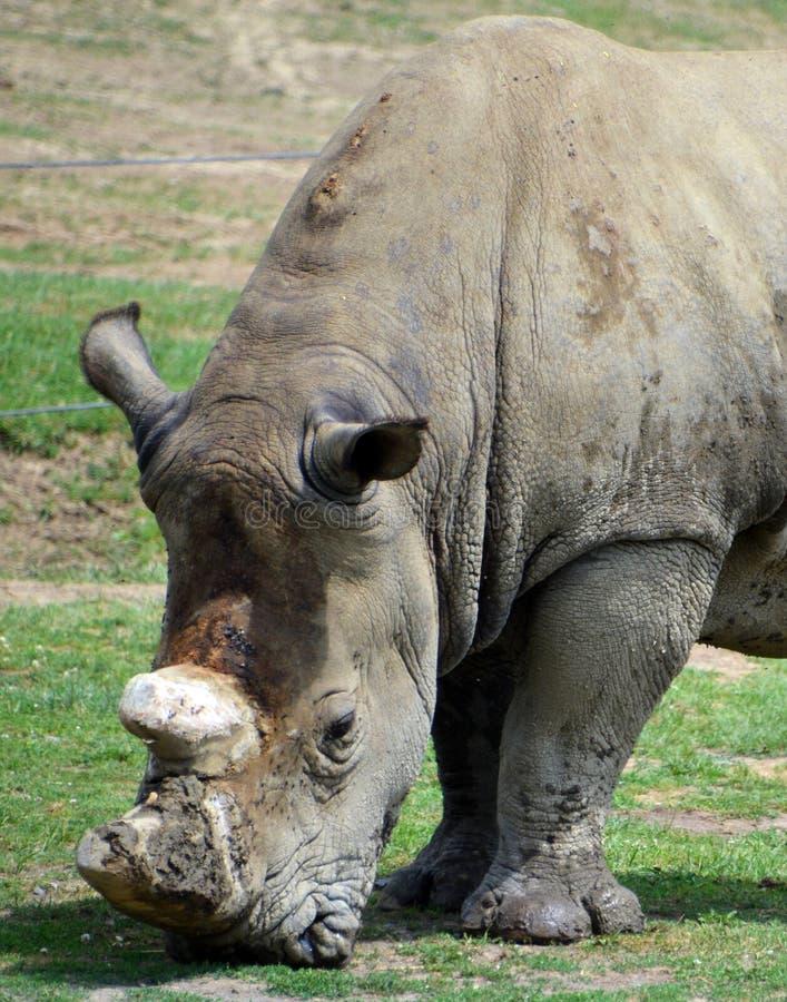 Il rinoceronte bianco o rinoceronte quadrato-lipped immagini stock libere da diritti