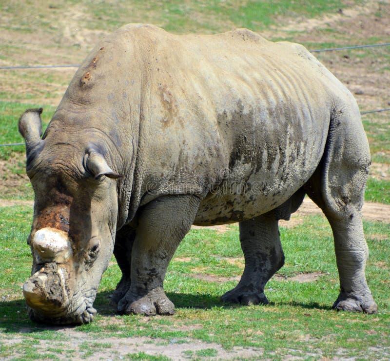 Il rinoceronte bianco o rinoceronte quadrato-lipped fotografia stock libera da diritti
