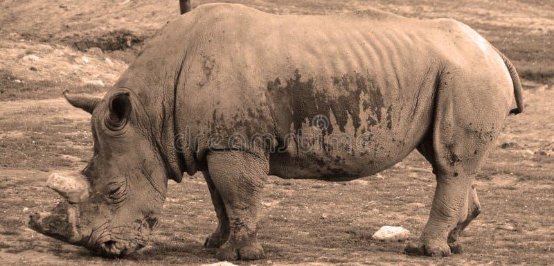 Il rinoceronte bianco o rinoceronte quadrato-lipped fotografie stock libere da diritti