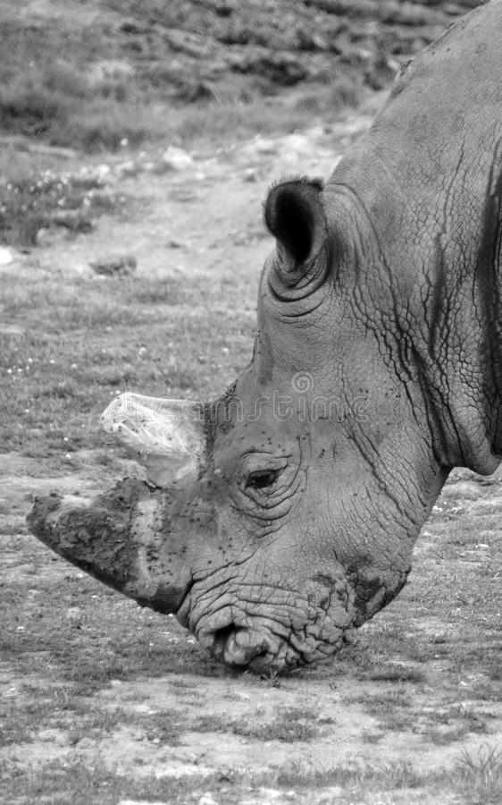 Il rinoceronte bianco o rinoceronte quadrato-lipped immagini stock