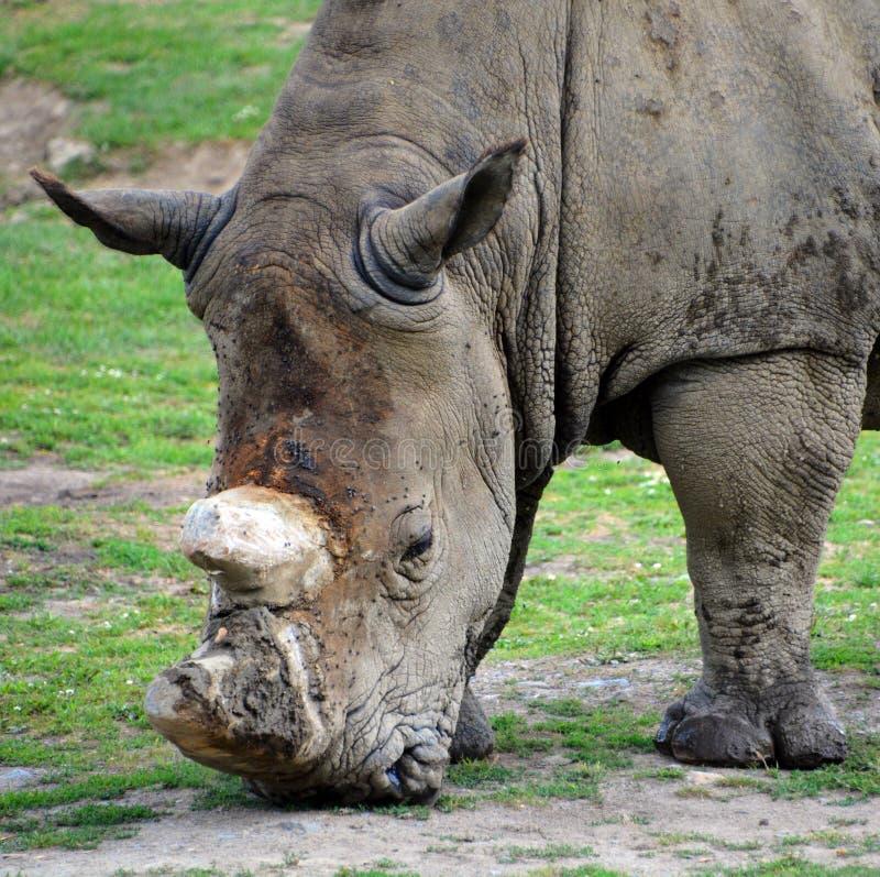 Il rinoceronte bianco o rinoceronte quadrato-lipped fotografia stock