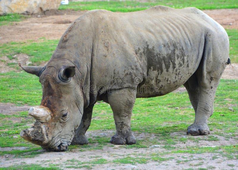 Il rinoceronte bianco o rinoceronte quadrato-lipped immagine stock libera da diritti