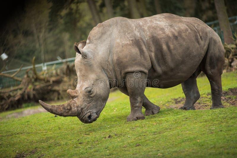 Il rinoceronte va sulla passeggiata del prato fotografia stock libera da diritti