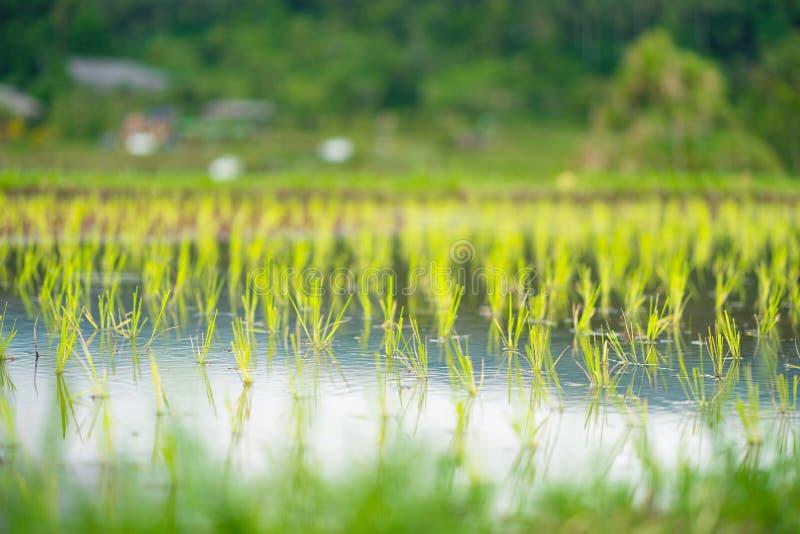 Il riso germoglia il primo piano nel fuoco molle immagini stock libere da diritti