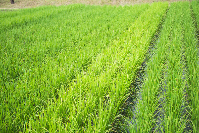 Il riso sta sviluppando nel campo fotografie stock