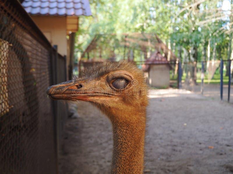 Il ritratto alto vicino di uno struzzo ha rotolato i suoi occhi, testa di struthio camelus e collo femminili nell'iarda dell'ucce fotografia stock