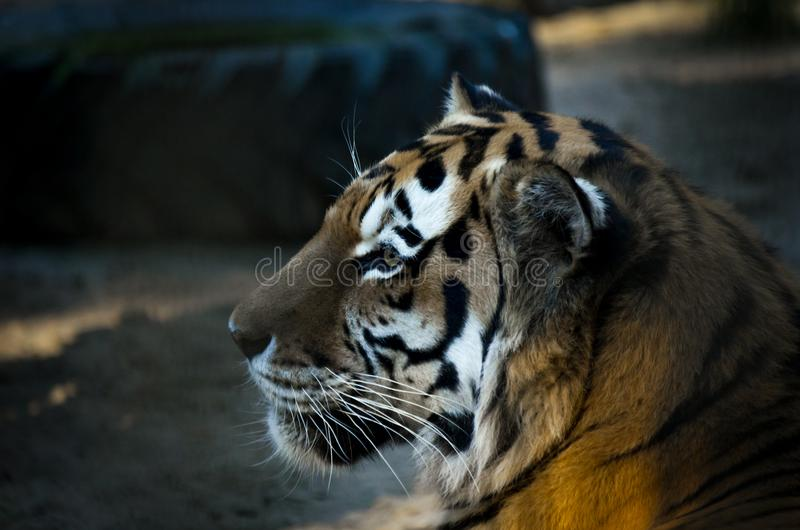Il ritratto del altaica del Tigri della panthera della tigre siberiana, o tigre dell'Amur, al tramonto fotografia stock