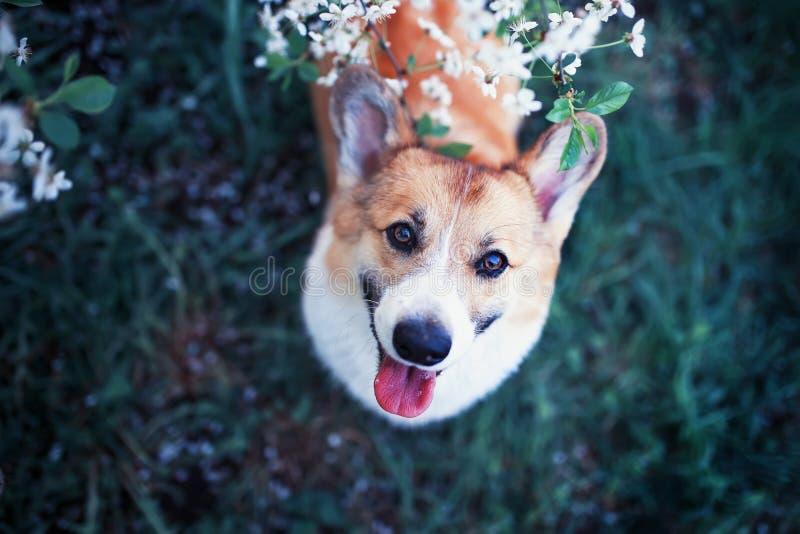 Il ritratto del Corgi rosso del cane del cucciolo divertente sveglio che cerca sullo sfondo naturale dei fiori di ciliegia nella  immagine stock