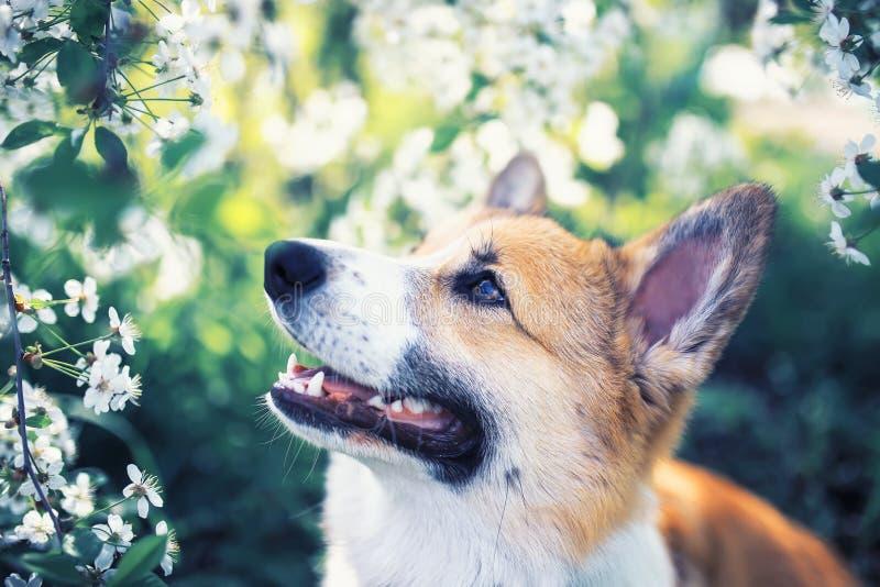 Il ritratto del Corgi rosso divertente sveglio del cucciolo del cane che si siede sullo sfondo naturale degli arbusti da fiore in fotografia stock
